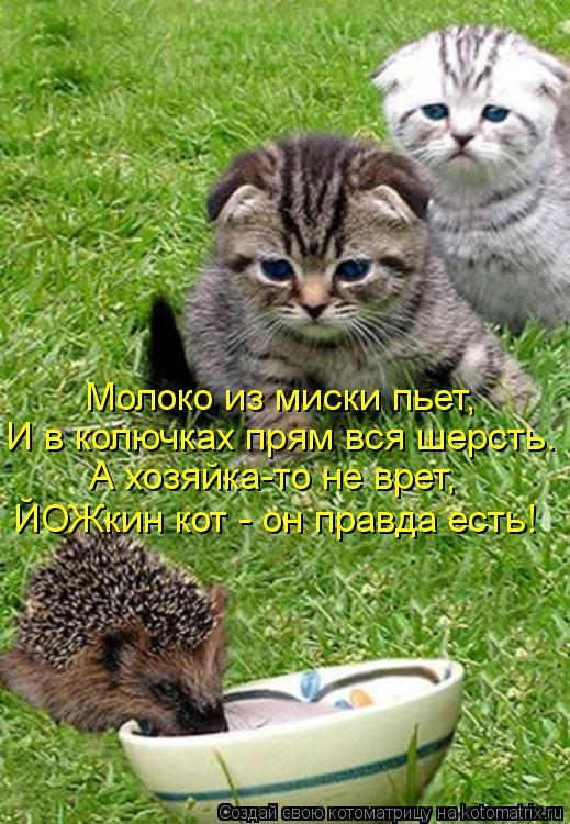 Котоматрица: Молоко из миски пьет,  И в колючках прям вся шерсть. А хозяйка-то не врет,  ЙОЖкин кот - он правда есть!