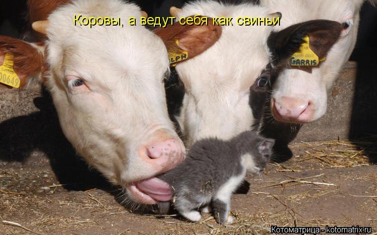 Котоматрица: Коровы, а ведут себя как свиньи