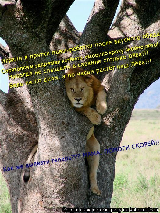 Котоматрица: Ведь не по дням, а по часам растёт наш Лёва!!! Никогда не слышали в саванне столько рёва!!! Спрятался и задремал котёнок, сморило кроху знойно