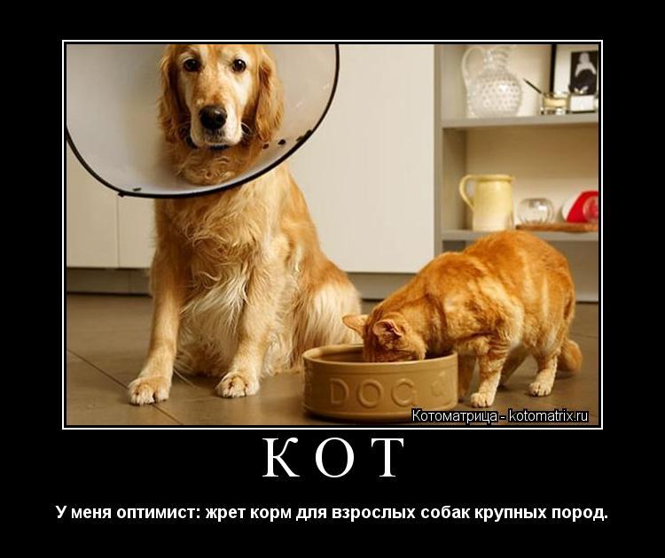Котоматрица: Кот У меня оптимист: жрет корм для взрослых собак крупных пород.