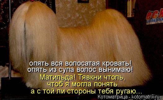 Котоматрица: опять вся волосатая кровать! опять из супа волос вынимаю! Матильда! Тявкни чтоль, чтоб я могла понять а с той ли стороны тебя ругаю...