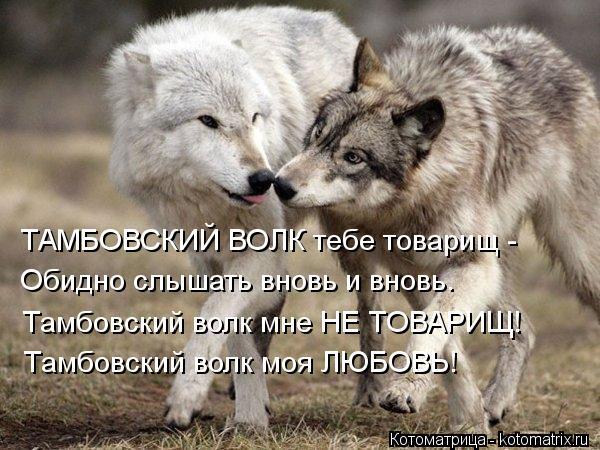 Котоматрица: ТАМБОВСКИЙ ВОЛК тебе товарищ - Обидно слышать вновь и вновь. Тамбовский волк мне НЕ ТОВАРИЩ! Тамбовский волк моя ЛЮБОВЬ!