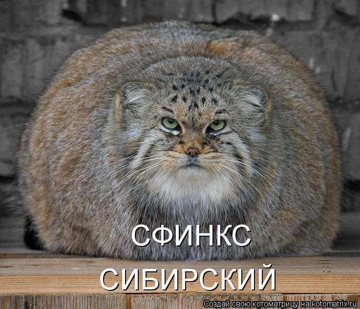 Котоматрица: СФИНКС СИБИРСКИЙ
