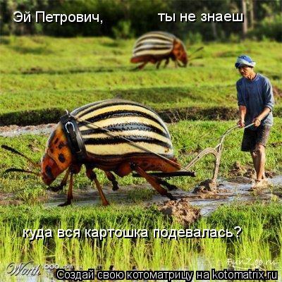 Котоматрица: Эй Петрович,  ты не знаеш куда вся картошка подевалась?