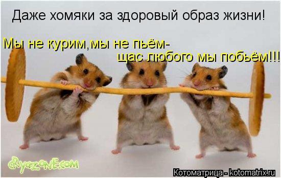 Котоматрица: Даже хомяки за здоровый образ жизни! Мы не курим,мы не пьём Мы не курим,мы не пьём- Мы не курим,мы не пьём- щас любого мы побьём!!!