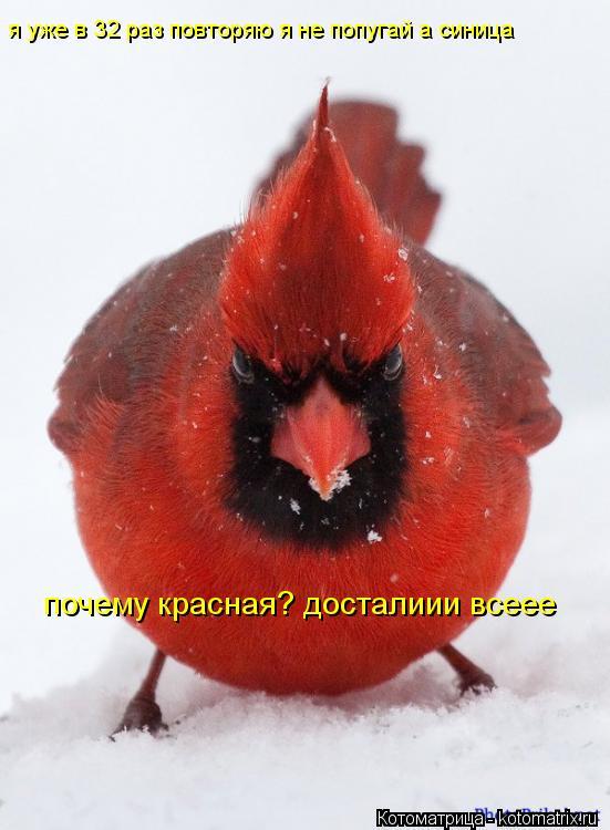 Котоматрица: я уже в 32 раз повторяю я не попугай а синица почему красная? досталиии всеее