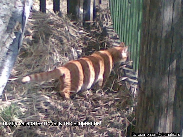 Котоматрица: пойду загарать-чтобы в тигры приняли!