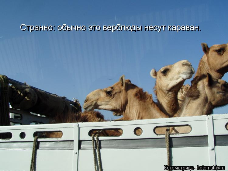 Котоматрица: Странно: обычно это верблюды несут караван.