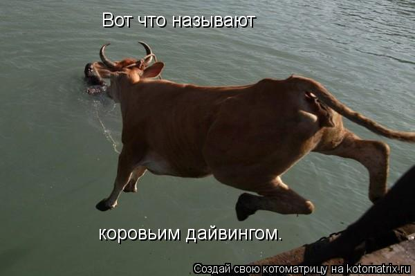Котоматрица: Вот что называют коровьим дайвингом.