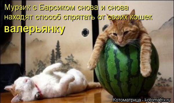 Котоматрица: валерьянку Мурзик с Барсиком снова и снова находят способ спрятать от своих кошек