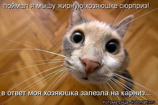 Котоматрица: поймал я мышу жирную!хозяюшке сюрприз! в ответ моя хозяюшка залезла на карниз...