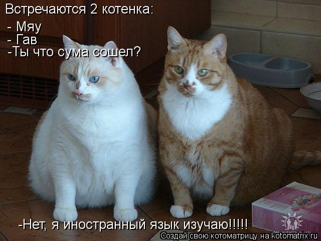 Котоматрица: Встречаются 2 котенка: - Мяу - Гав -Ты что сума сошел?   -Нет, я иностранный язык изучаю!!!!!