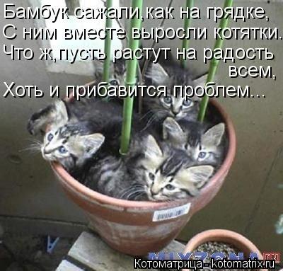 Котоматрица: Бамбук сажали,как на грядке, С ним вместе выросли котятки. Что ж,пусть растут на радость всем, Хоть и прибавится проблем...
