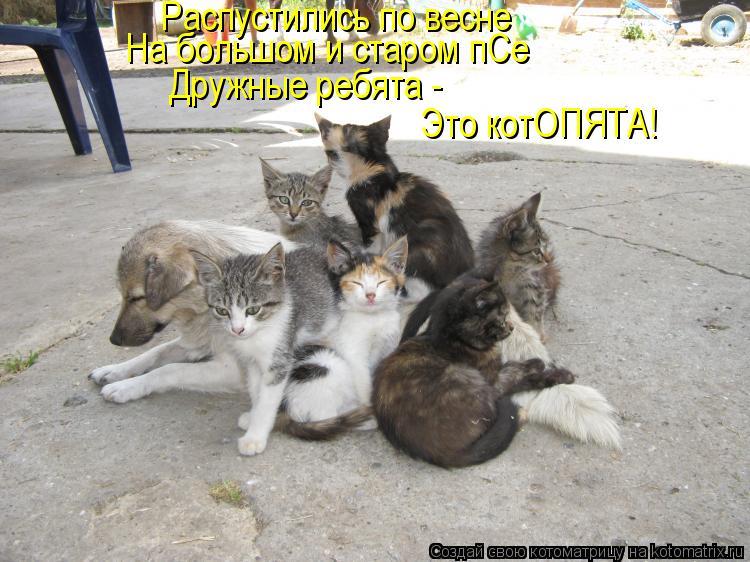 Котоматрица: Распустились по весне На большом и старом пСе Дружные ребята -  Это котОПЯТА!