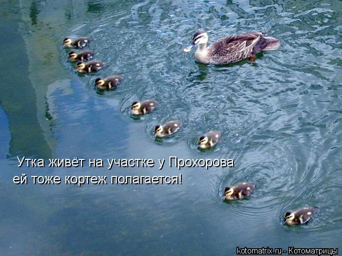Котоматрица: Утка живёт на участке у Прохорова ей тоже кортеж полагается!