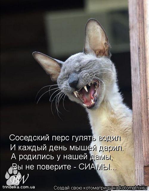 Котоматрица: Соседский перс гулять водил И каждый день мышей дарил. А родились у нашей дамы, Вы не поверите - СИАМЫ...