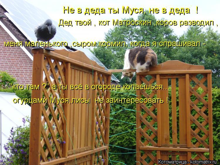 """Котоматрица: Не в деда ты Муся, не в деда  !   Дед твой , кот Матроскин ,коров разводил , меня маленького ,сыром кормил, когда я спрашивал - """"кто там ?"""",а ты всё в"""