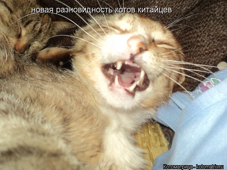 Котоматрица: новая разновидность котов китайцев