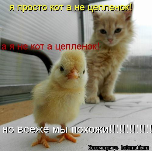 Котоматрица: я просто кот а не цепленок! а я не кот а цепленок! но всеже мы похожи!!!!!!!!!!!!!