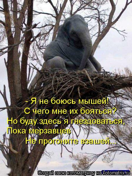 Котоматрица: - Я не боюсь мышей!  С чего мне их бояться?  Но буду здесь я гнездоваться, Пока мерзавцев  Не прогоните взашей...
