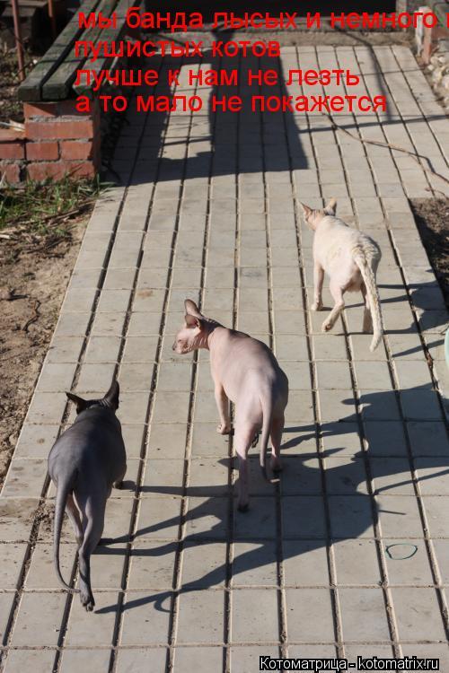 Котоматрица: мы банда лысых и немного пушистых котов пушистых котов лучше к нам не лезть а то мало не покажется