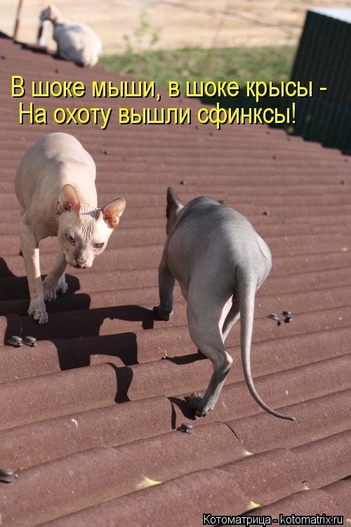 Котоматрица: В шоке мыши, в шоке крысы -  На охоту вышли сфинксы!
