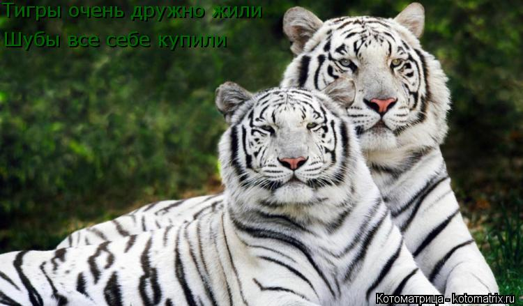 Котоматрица: Тигры очень дружно жили Шубы все себе купили