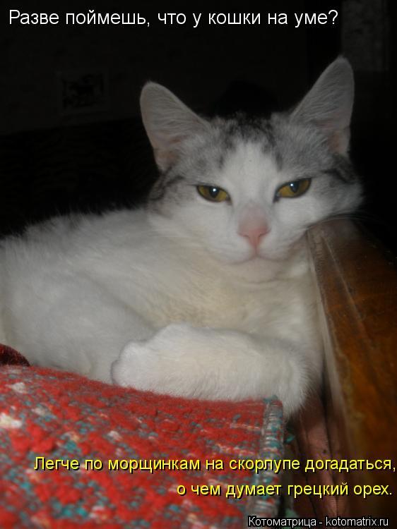 Котоматрица: Разве поймешь, что у кошки на уме?  Легче по морщинкам на скорлупе догадаться,  о чем думает грецкий орех.