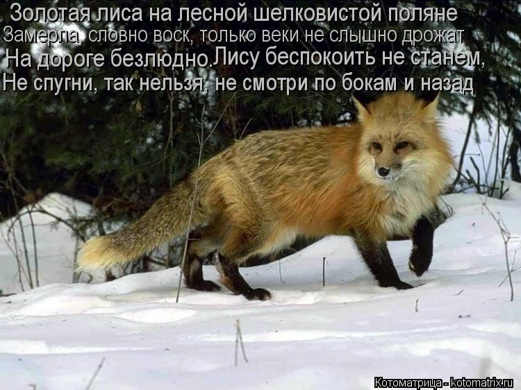 Котоматрица: Золотая лиса на лесной шелковистой поляне Замерла, словно воск, только веки не слышно дрожат На дороге безлюдно. Лису беспокоить не станем,