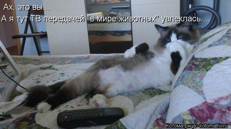 """Котоматрица: Ах, это вы... А я тут ТВ передачей """"в мире животных"""" увлеклась..."""