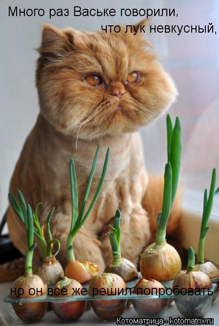 Котоматрица: Много раз Ваське говорили  что лук невкусный,  но он всё же решил попробовать ,