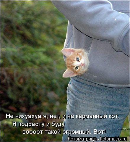 Котоматрица: Не чихуахуа я, нет, и не карманный кот. Я подрасту и буду воооот такой огромный. Вот!