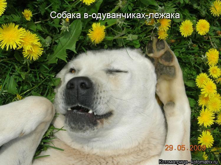 Котоматрица: Собака в-одуванчиках-лежака