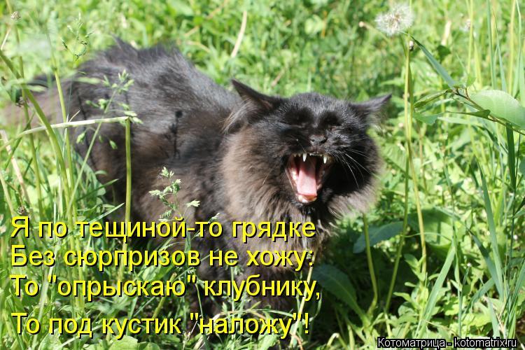 """Котоматрица: Я по тещиной-то грядке Без сюрпризов не хожу: То """"опрыскаю"""" клубнику, То под кустик """"наложу""""!  То под кустик """"наложу""""!"""