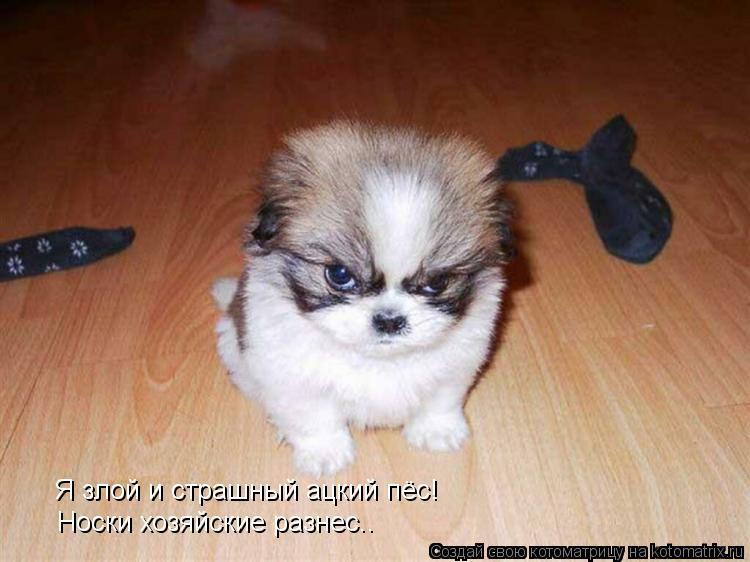 Котоматрица: Я злой и страшный ацкий пёс! Носки хозяйские разнес..