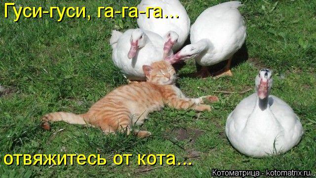Котоматрица: Гуси-гуси, га-га-га... отвяжитесь от кота...