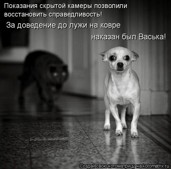 Котоматрица: За доведение до лужи на ковре наказан был Васька! Показания скрытой камеры позволили  восстановить справедливость!
