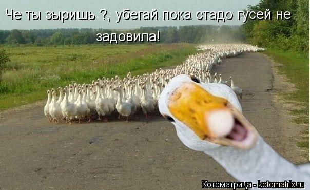 Котоматрица: Че ты зыришь ?, убегай пока стадо гусей не  задовила!