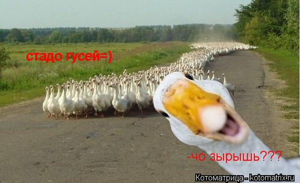 Котоматрица: стадо гусей=) стадо гусей=) -чо зырышь???