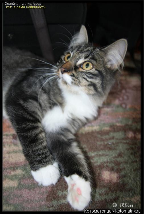 Котоматрица: Хозяйка: где колбаса  кот: я сама невинность