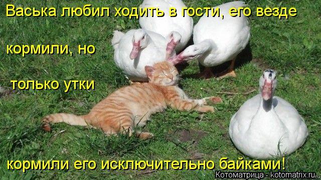 Котоматрица: Васька любил ходить в гости, его везде кормили его исключительно байками! кормили, но только утки
