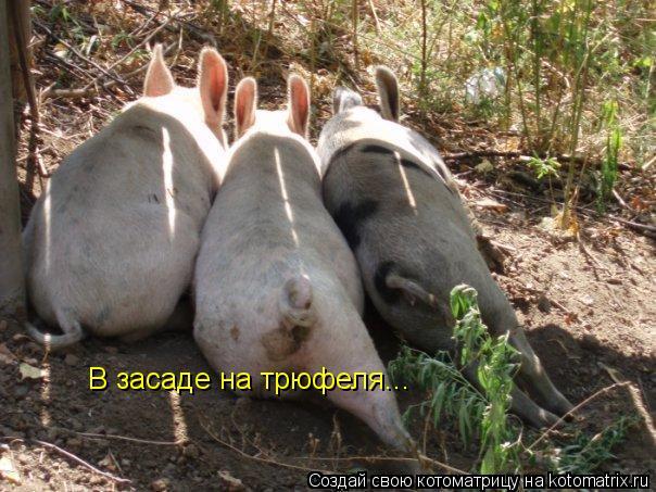 Котоматрица: В засаде на трюфеля...