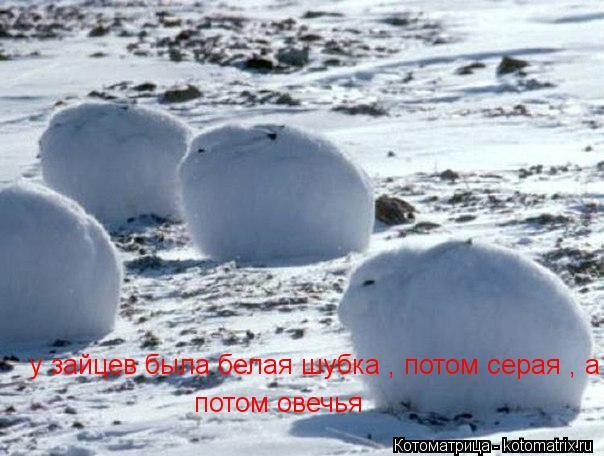 Котоматрица: у зайцев была белая шубка , потом серая , а потом овечья потом овечья