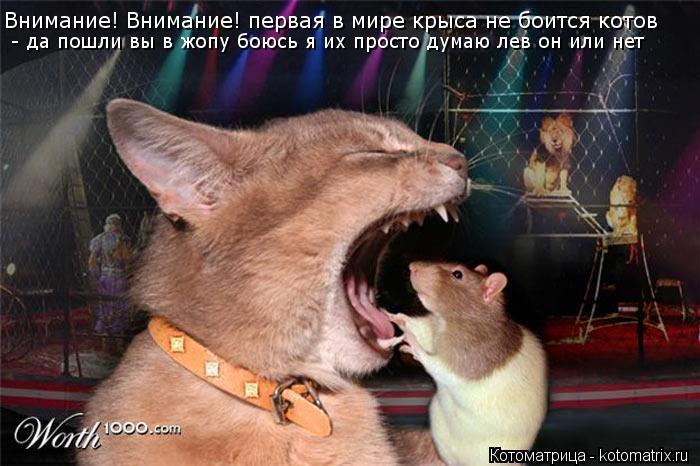 Котоматрица: Внимание! Внимание! первая в мире крыса не боится котов  - да пошли вы в жопу боюсь я их просто думаю лев он или нет