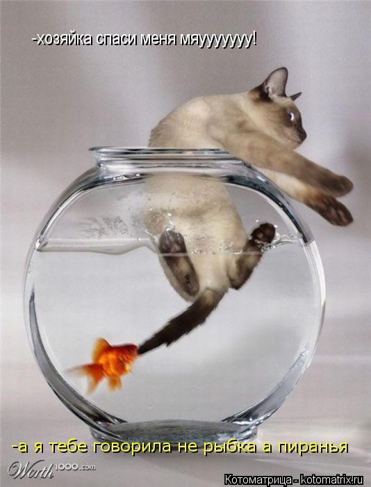 Котоматрица: -хозяйка спаси меня мяууууууу! -а я тебе говорила не рыбка а пиранья