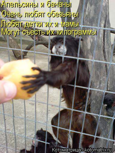 Котоматрица: Апельсины и бананы Очень любят обезьяны Любят детки их и мамы Могут съесть их килограммы
