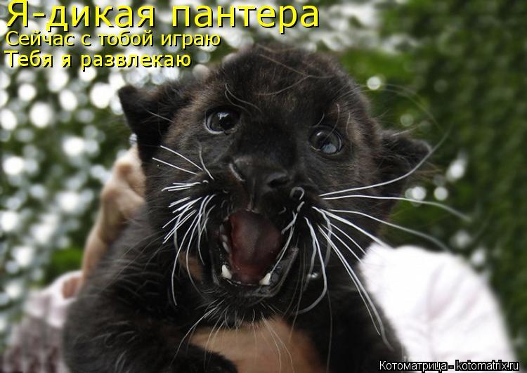 Котоматрица: Я-дикая пантера Сейчас с тобой играю Тебя я развлекаю