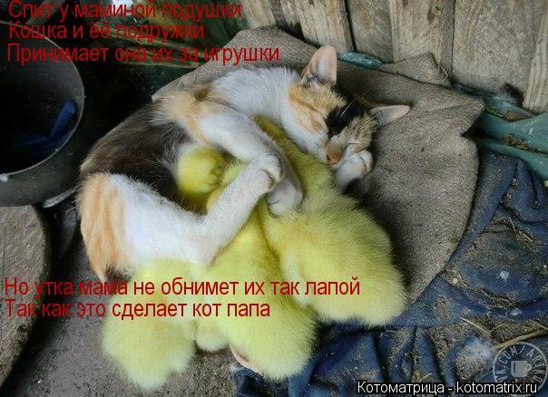 Котоматрица: Спит у маминой подушки Кошка и ёё подружки Принимает она их за игрушки Но утка мама не обнимет их так лапой Так как это сделает кот папа