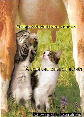 Котоматрица: Отлично,бесплатное молоко! А если она копытом легнёт!