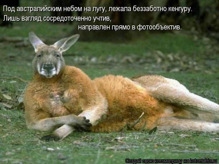 Котоматрица: Под австралийским небом на лугу, лежала беззаботно кенгуру. Лишь взгляд сосредоточенно учтив, направлен прямо в фотообъектив.